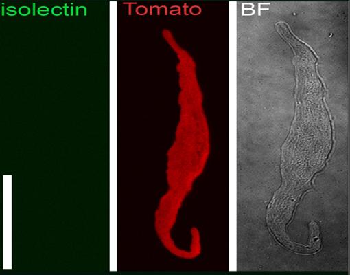"<a href=""https://pannexins.med.virginia.edu/main-projects/project-2/""><h2>Project 2</h2>Role of Pannexins in Vascular Smooth Muscle Cells</a>"
